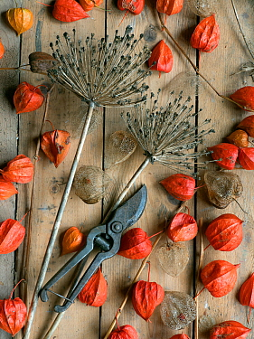 Arrangement of Chinese Lanterns (Physalis alkekengi) and Allium seedheads from garden with secateurs.