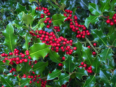 Holly Berries (Ilex aquifolium) in woodland in autumn, Norfolk, UK. October.