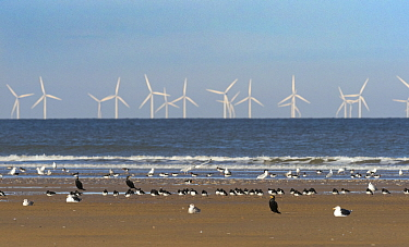 Cormorants, oystercatchers and gulls resting on the beach with wind farm turbines out at sea, Titchwell RSPB Nature Reserve, west Norfolk, UK. October 2018.