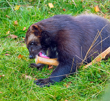Wolverine (Gulo gulo) licking antler to keep its teeth healthy and for calcium and other nutrients. Captive.