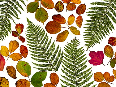 Bramble leaves (Rubus fruticosus) and bracken fronds changing colour in autumn.