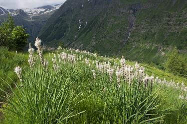 Asphodelus angustifolia flowers, Champsaur, Ecrins National Park, France. June 2018.