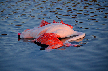Dead European flamingo (Phoenicopterus roseus) in shallow water, Camargue, France. August.
