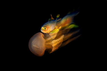 Trevally (Carangidae sp.) with jellyfish, photographed at night, Balayan Bay, Luzon, Philippines. Minimum fees apply.