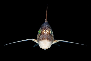 Rabbitfish / Ratfish / Ghost shark (Chimaera monstrosa) photographed at night, Trondheim Fjord, Norway. Minimum fees apply.