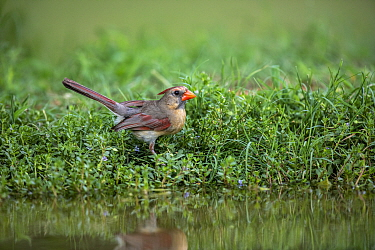 Northern cardinal (Cardinalis cardinalis) female at edge of pond, reflected in water. Lower RIo Grande Valley, Linn, Hidalgo County, Texas, USA. July.