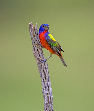 Painted bunting (Passerina ciris) male perched on branch. Lower Rio Grande Valley, Linn, Hidalgo County, Texas, USA. July.