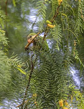 Monk parakeet (Myiopsitta monachus) feeding on Honey mesquite (Prosopis glandulosa) bean pod whilst perched in tree. Hidalgo Pump House, Hidalgo County, Texas, USA. July.