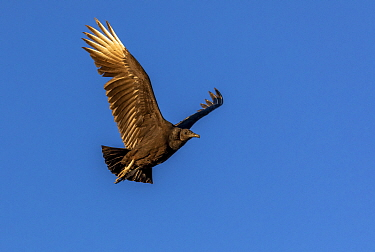 Black vulture (Coragyps atratus) in flight. Organ Pipe Cactus National Monument, Arizona, USA. November.