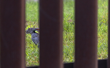 Black-tailed jackrabbit (Lepus californicus) viewed through border wall. Southmost Preserve, The Nature Conservancy Reserve. The border wall separates 85% of the reserve from the United State's si...