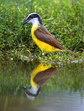 Great kiskadee (Pitangus sulphuratus) reflected in pond. Lower Rio Grande Valley, Texas, USA. July.