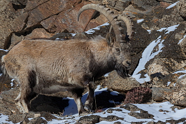 Siberian ibex (Capra sibirica) male on rocks in Altai Mountains, West Mongolia. February.