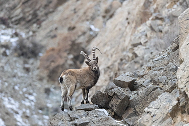Siberian ibex (Capra sibirica) on rocks in Altai Mountains, West Mongolia. February.