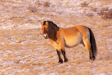 Przewalski's horse (Equus ferus przewalskii), species reintroduced in 1993. Hustai National Park, Mongolia. February.