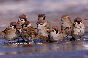 Tree sparrow (Passer montanus) and House sparrow (Passer domesticus) group bathing in puddle. Hustai National Park, Mongolia. February.