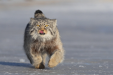 Pallas's cat (Otocolobus manul) licking lips whilst running over ice. East Mongolia. February.