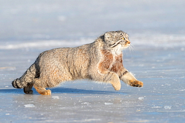 RF-Pallas's cat (Otocolobus manul) running over ice. East Mongolia. February. (This image may be licensed either as rights managed or royalty free)