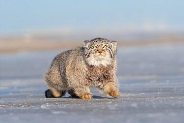 Pallas's cat (Otocolobus manul) walking on ice. East Mongolia. February.