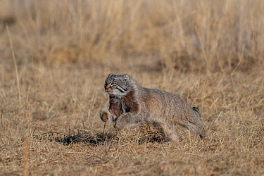 Pallas's cat (Otocolobus manul) running through steppe. East Mongolia. February.