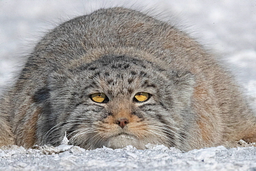 RF-Pallas's cat (Otocolobus manul) resting, portrait. East Mongolia. February. (This image may be licensed either as rights managed or royalty free)