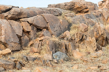 Pallas's cat (Otocolobus manul) resting at base of rock outcrop. East Mongolia. February.