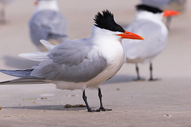 Royal tern (Thalasseus maximus) standing on beach, others in background. Magdalena Bay, Puerto San Carlos, Baja California Sur, Mexico.