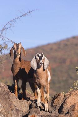 Two Goats standing amongst rocks. San Francisco, Sierra de San Francisco, Mulege, Baja California Sur, Mexico.