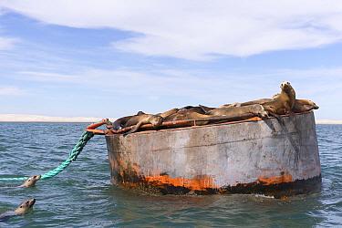 California sea lion (Zalophus californianus) group resting on buoy, two swimming. Ojo de Liebre Lagoon, El Vizcaino Biosphere Reserve, Baja California Sur, Mexico.