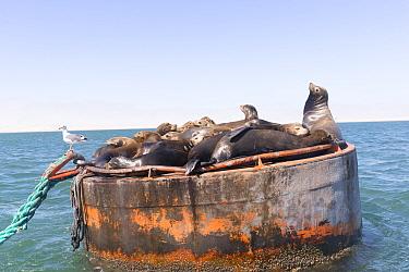 California sea lion (Zalophus californianus) group resting alongside Gull on buoy. Ojo de Liebre Lagoon, El Vizcaino Biosphere Reserve, Baja California Sur, Mexico.