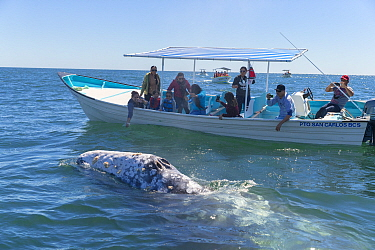 Grey whale (Eschrichtius robustus) blow hole above water, tourists observing from boat in background. Magdalena Bay, Puerto San Carlos, Baja California Sur, Mexico. 2017