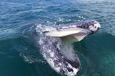 Grey whale (Eschrichtius robustus) surfacing with open mouth and baleen visible, Ojo de Liebre Lagoon, El Vizcaino Biosphere Reserve, Baja California, Mexico.