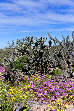 Flowers blooming in desert amongst Cacti (Cactaceae), following rain. El Vizcaino Biosphere Reserve, Guerrero Negro, Baja California Sur, Mexico. 2017.
