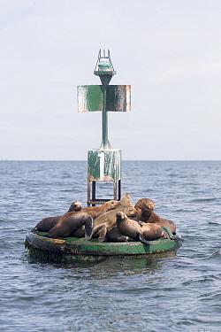 California sea lion (Zalophus californianus), group resting on buoy. Puerto San Carlos, Magdalena Bay, Baja California Sur, Mexico.