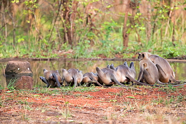 Bengal hanuman langur (Semnopithecus entellus) group drinking at water's edge. Tadoba Andhari Tiger Reserve / Tadoba National Park, Maharashtra, India.
