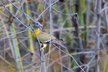 Yellow-footed green pigeon (Treron phoenicoptera) perched on branch. Tadoba Andhari Tiger Reserve / Tadoba National Park, Maharashtra, India.