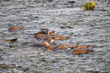 Smooth-coated otter (Lutrogale perspicillata) group fishing in Ramganga river. Jim Corbett National Park, Uttarakhand, India.