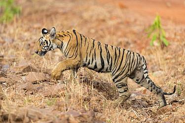 Bengal tiger (Panthera tigris tigris), young animal. Tadoba Andhari Tiger Reserve / Tadoba National Park, Maharashtra, India.