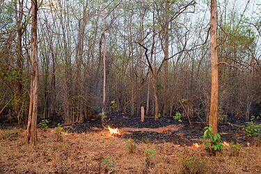 Fire along track in forest, management to clear vegetation. Tadoba Andhari Tiger Reserve / Tadoba National Park, Maharashtra, India.