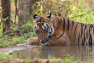 Bengal tiger (Panthera tigris tigris) cooling down in artificial water hole. Tadoba Andhari Tiger Reserve / Tadoba National Park, Maharashtra, India.