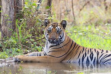 Bengal tiger (Panthera tigris tigris) cooling down in artificial water hole, portrait. Tadoba Andhari Tiger Reserve / Tadoba National Park, Maharashtra, India.