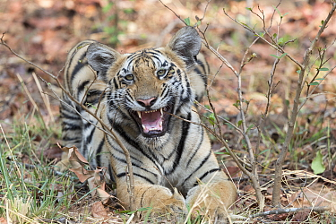 Bengal tiger (Panthera tigris tigris), young animal growling. Tadoba Andhari Tiger Reserve / Tadoba National Park, Maharashtra, India.