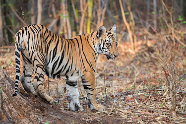 RF-Bengal tiger (Panthera tigris tigris), young animal standing at base of tree. Tadoba Andhari Tiger Reserve / Tadoba National Park, Maharashtra, India. (This image may be licensed either as rights m...