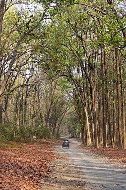 Jeep on walkway through Sal (Shorea robusta) forest. Jim Corbett National Park, Uttarakhand, India.