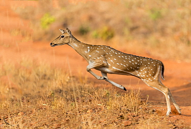Chital (Axis axis) female leaping. Tadoba Andhari Tiger Reserve / Tadoba National Park, Maharashtra, India.