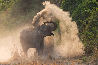 RF-Asian elephant (Elephas maximus) dust bathing. Jim Corbett National Park, Uttarakhand, India. (This image may be licensed either as rights managed or royalty free)