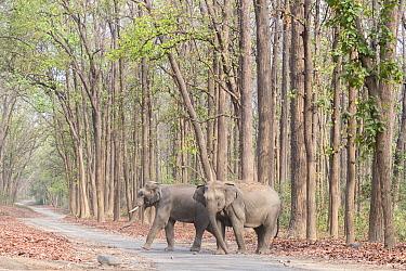 Asian elephant (Elephas maximus), two crossing a walkway through Sal (Shorea robusta) forest. Jim Corbett National Park, Uttarakhand, India.