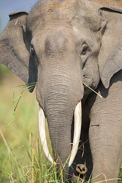 Asian elephant (Elephas maximus) feeding, portrait. Jim Corbett National Park, Uttarakhand, India.