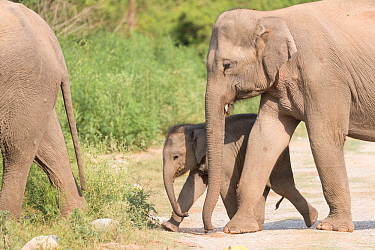 Asian elephant (Elephas maximus) female and calf walking with herd. Jim Corbett National Park, Uttarakhand, India.