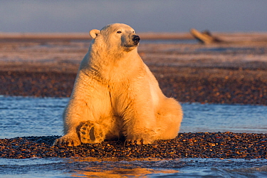 RF-Polar bear (Ursus maritimus) sitting on barrier island, basking in morning light. Near Kaktovik, Arctic National Wildlife Refuge, Alaska, USA. October. (This image may be licensed either as rights...