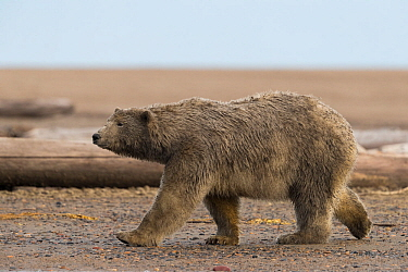 Polar bear (Ursus maritimus) with dirty muddy fur walking along barrier island. Near Kaktovik, Arctic National Wildlife Refuge, Alaska, USA. September.